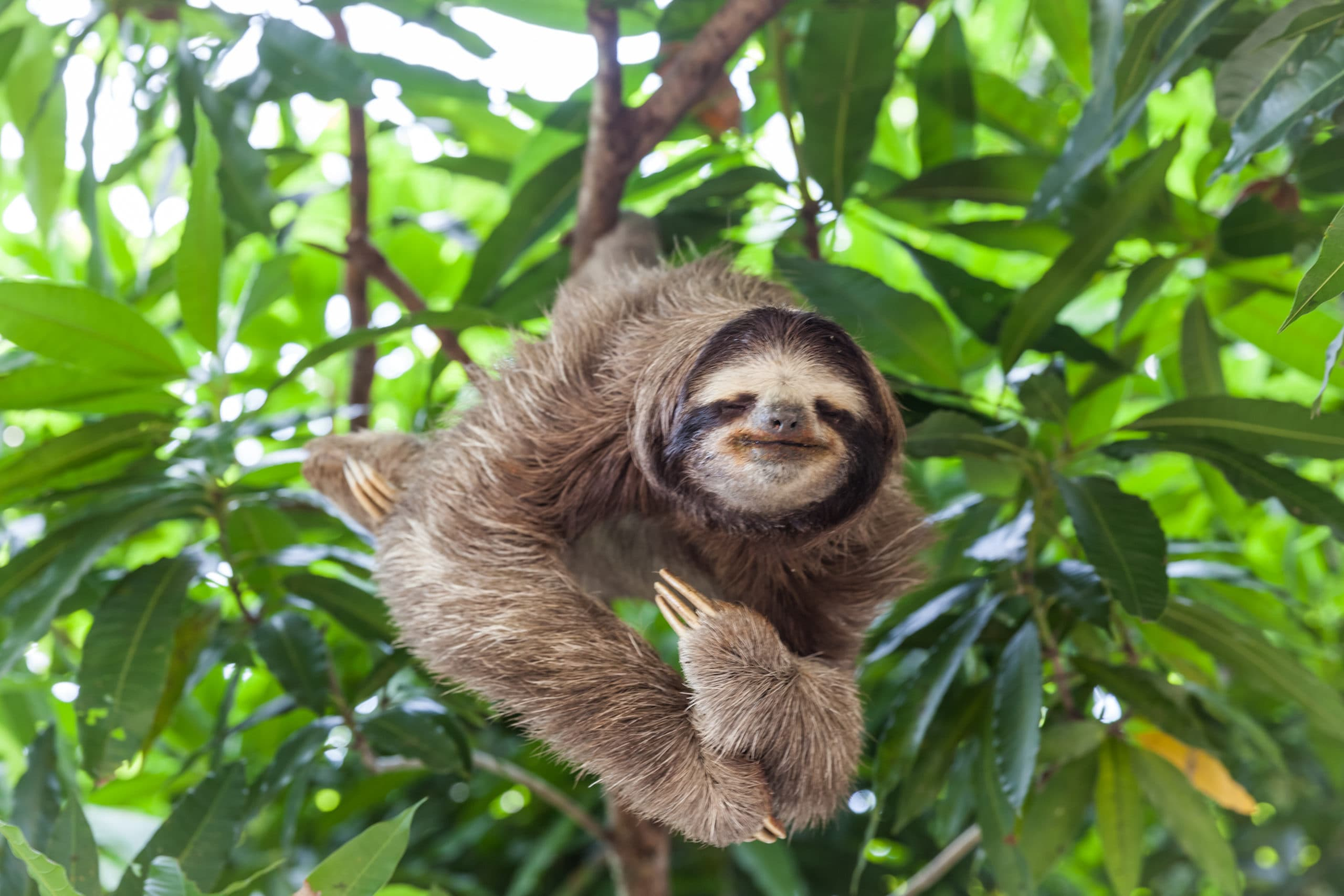 Is It Legal to Own a Pet Sloth In Florida?